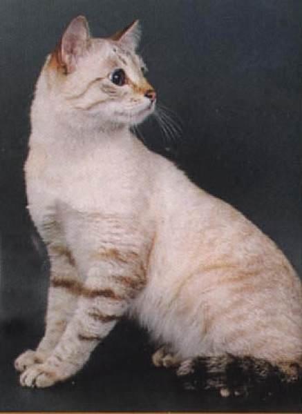 сиамская тайская кошка фото. сиамские кошки сиамская тайская кошка фото.